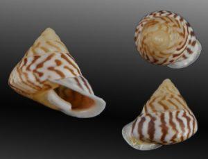 Camaenidae - Papuina