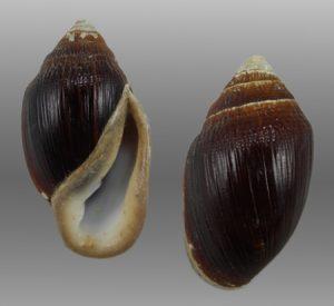 Ellobiidae (Hollow-shelled snails)