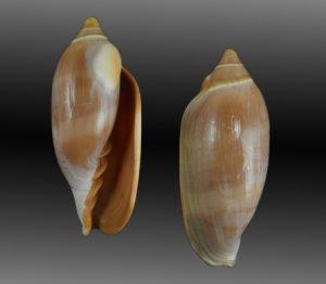 Marginellidae (Margin shells)