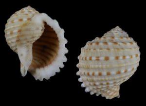 Tonidae (Tun shells)