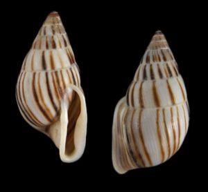 Anctus angiostomus laminiferus (Pilsbry's Choke-mouth Snail)