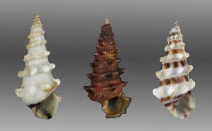 Cerithiidae (Horned shells)