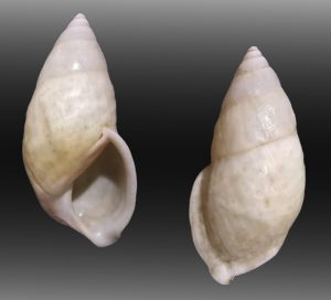 Amphidromus bulowi malalakensis