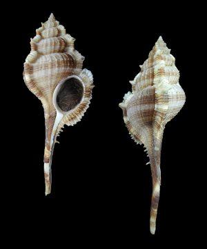 Vokesimurex malabaricus (Malabar murex)