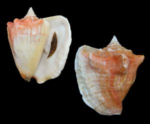 Lobatus costatus (Milk conch)