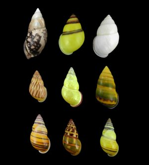 Camaenidae - Amphidromus snails
