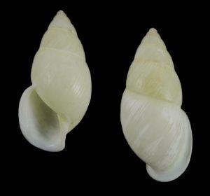 Amphidromus beccarii