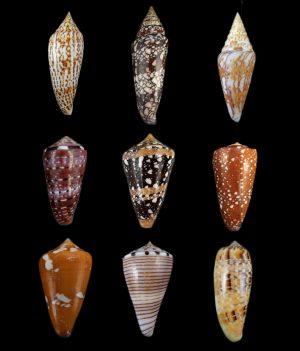 Conidae (Cone shells)