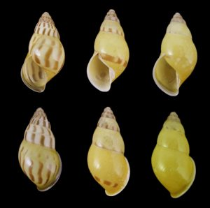 Amphidromus elvinae