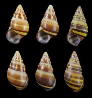 Amphidromus everetti