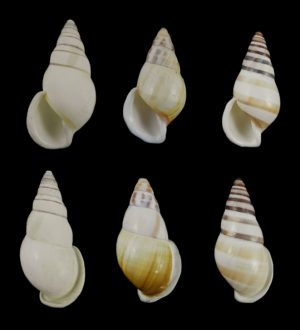 Amphidromus reflexilabris hanielanus