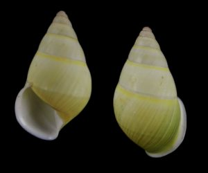 Amphidromus setzeri