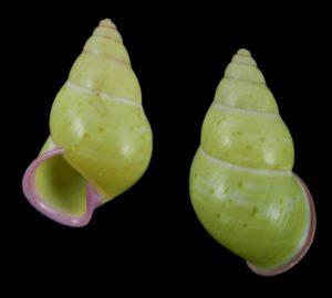 Amphidromus stevenliei (Steven Lie's amphidromus)
