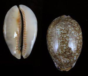 Arabica asiatica 755 (2)
