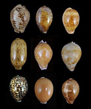 Cypraeidae (Cowries)