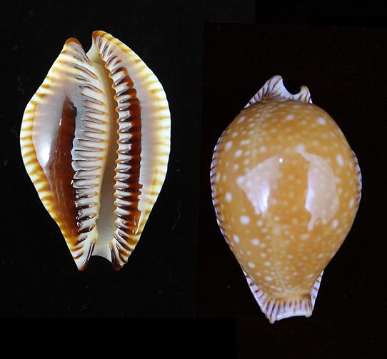 Guttata surinensis 469