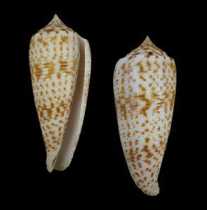 Conus laterculatus