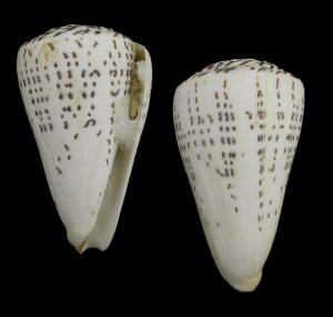Leopardus 1588