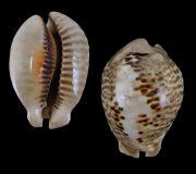 Mus bicornis 569