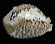 Mus bicornis 569 lateral