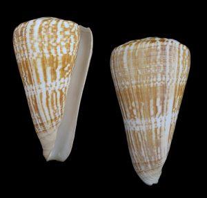 Conus pulcher pulcher