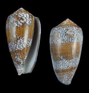Conus pennaceus tsara