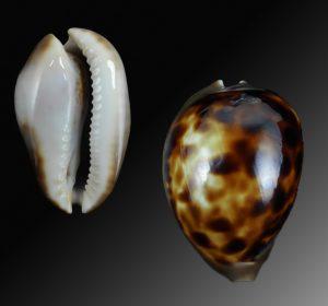 Venusta sorrentensis 564