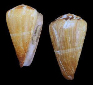 Conus vexillum