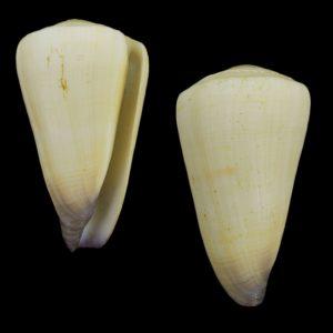Conus virgo