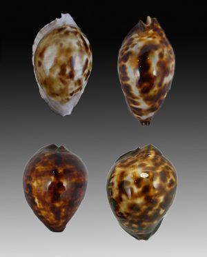 Cypraeidae - Zoila