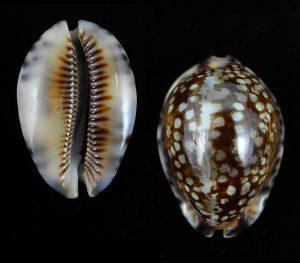 Mauritia maculifera martybealsi