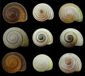 Ariophantidae (Black-faced snails)