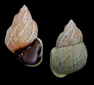Auris bilabiata f. melanostoma