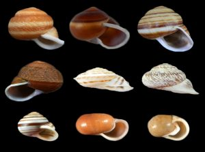 Camaenidae (Beer snails)