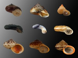 Cyclophoridae (Forest snails)