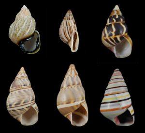 Orthalicidae (orthalicid land snails)