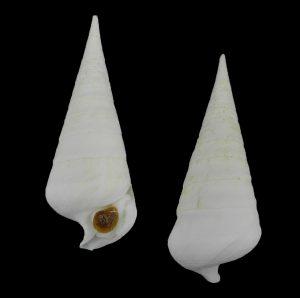 Campanilidae