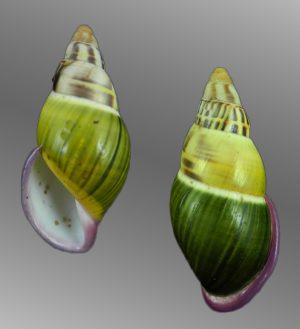 Amphidromus abbasorum