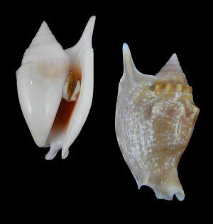 Euprotomus bulla (Bubble Conch)