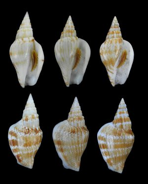 Doxander campbelli (Campbell's conch)