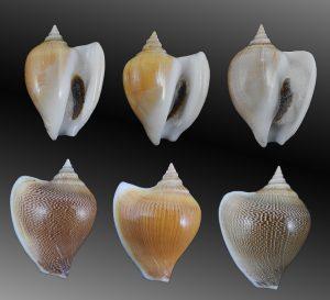 Laevistrombus canarium (Dog conch)