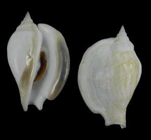 Labiostrombus epidromis (Swan conch)