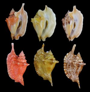 Lobatus gallus (Rooster-tail conch)