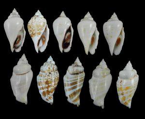 Gibberulus gibbosus (Humped conch)