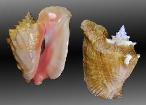 Lobatus gigas (Queen conch)