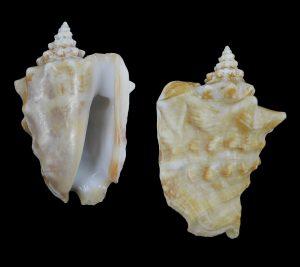 Persististrombus granulatus (Granulated conch)