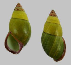 Amphidromus sriabbasae