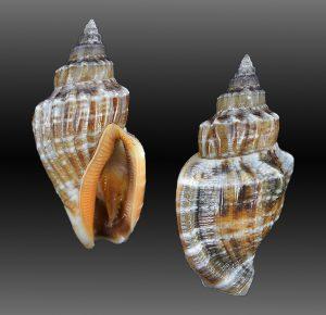 Canarium labiatum (Samar Conch)