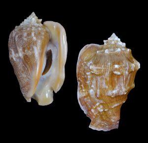 Persististrombus latus (Bubonian conch)