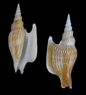 Mirabilistrombus listeri (Lister's conch)